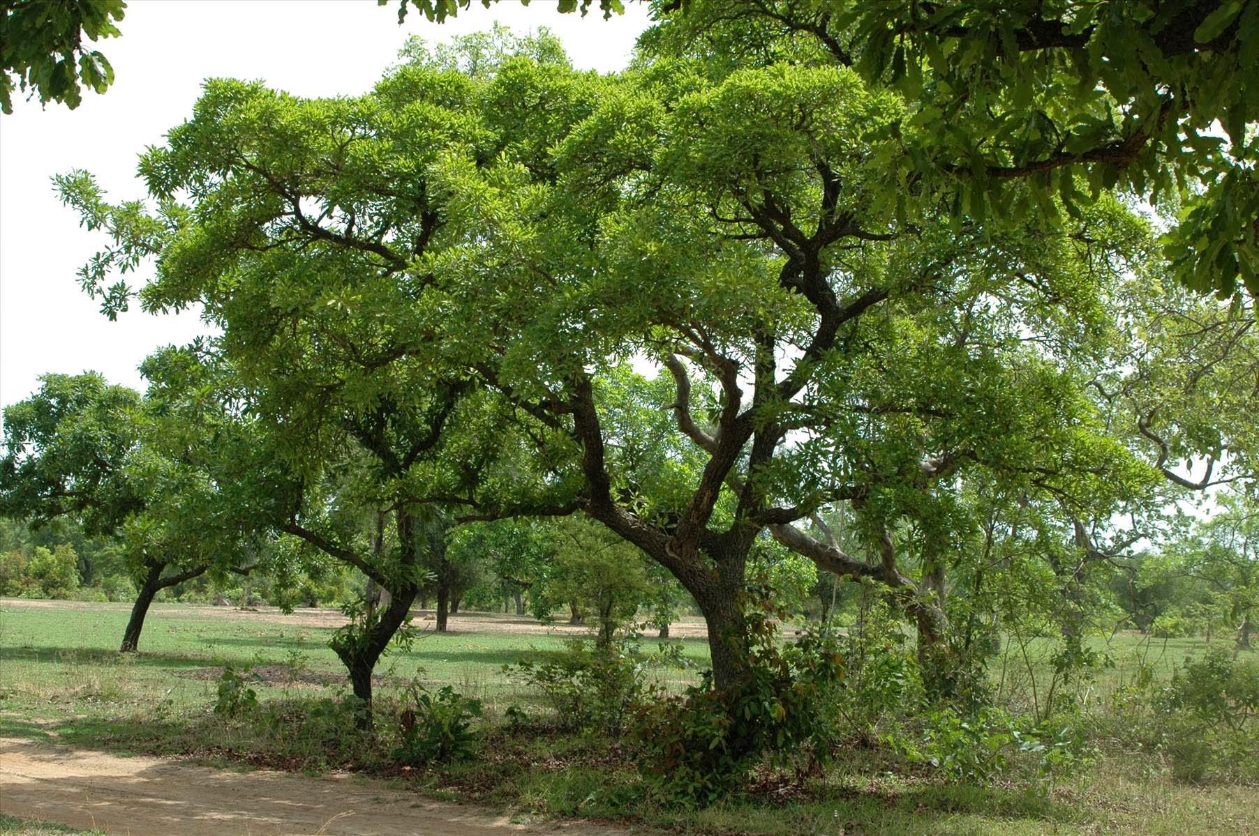 Sheabutterbaum in Ghana