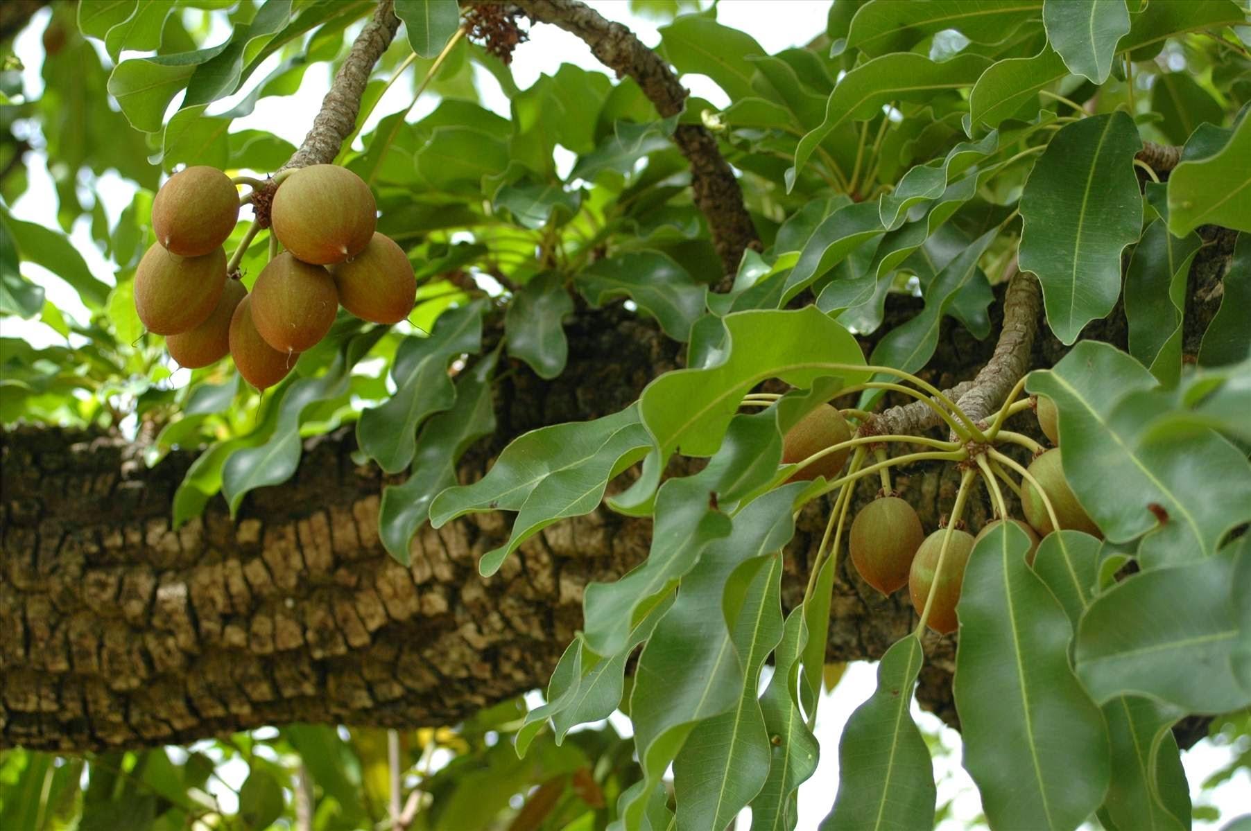 Sheabutterbaum mit Früchten