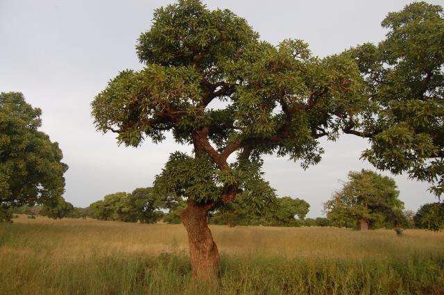 Sheanussbaum